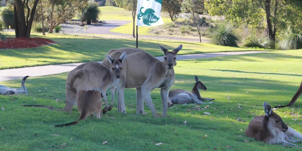 The local crowd found on The Vines Golf Course
